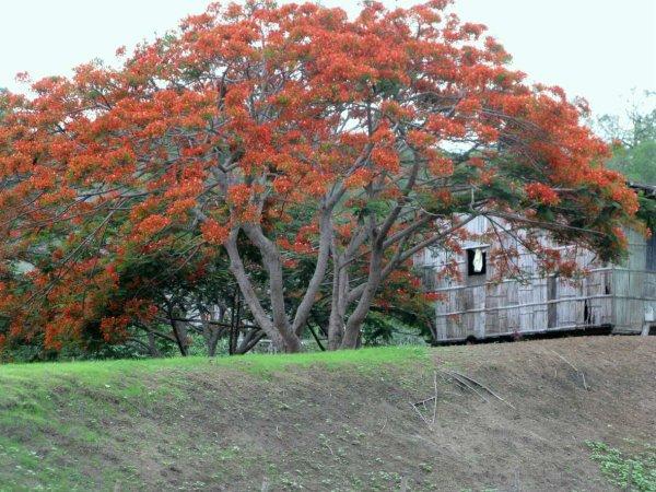 ALBERO IN FIORE VERSO SANTO DOMINGO (ECUADOR)