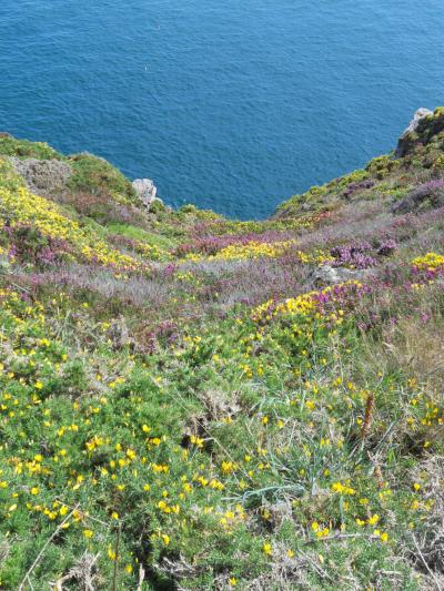 Cap Frehel – vista della scogliera con eriche e ginesrte