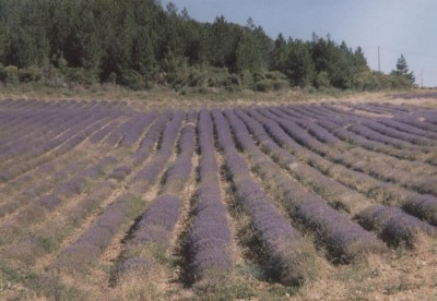 Distese di lavanda in piena fioritura