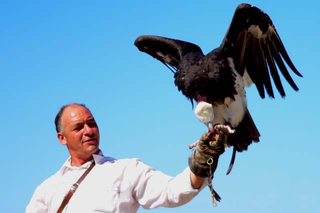 Addestratore falconiere   Oltremare